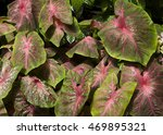 Bright And Colorful Variegated...