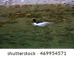 Chinese Merganser Or Scaly...
