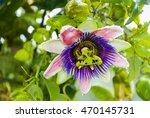 passiflora edulis flower in... | Shutterstock . vector #470145731