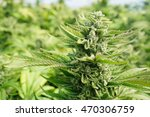 crystallized cola on a cannabis ... | Shutterstock . vector #470306759