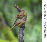 Small photo of Beautiful Couple Bird of Spectacled Barwing ( Actinodura ramsayi ), on a branch in nature of Thailand