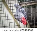 Small photo of African Gray parrot tropical bird in the cage