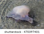Small photo of Jellyfish in the sea near the beach , Aequorea forskalea jellyfish ,hydroid medusa