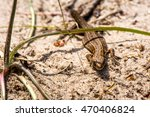 macro shot of a lizard. early... | Shutterstock . vector #470406824