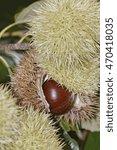Small photo of American chestnut nut (Castanea dentata)