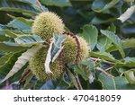 Small photo of American chestnut fruits (Castanea dentata)