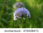 Small photo of Flowers of a witch garlic plant (Allium carinatum).