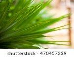 chamaerops humilis plant  ... | Shutterstock . vector #470457239