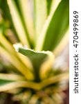 Small photo of Agave Americana marginata-aurea, plant in botanical garden