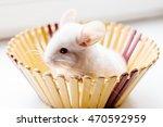 Little White Chinchilla Sits I...