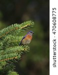 A Male Wesern Bluebird In A...