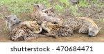 hyena cubs feeding on their... | Shutterstock . vector #470684471