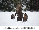 A Grizzly Bear Sow Stands On...