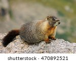 yellow-bellied  marmot on a rock on mount evans, colorado