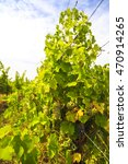 white grapes in the vineyard on ... | Shutterstock . vector #470914265