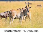 Common Eland Antilope In The...