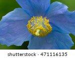 Blue Himalayan Poppy  Tibetan...
