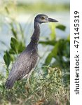 Small photo of Yellow-crowned Night heron (Nyctanassa violacea) immature in marsh, Brazos Bend State Park, Texas, USA