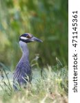 Small photo of Yellow-crowned Night heron (Nyctanassa violacea) in marsh, Brazos Bend State Park, Texas, USA