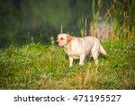 portrait of the golden labrador ... | Shutterstock . vector #471195527