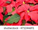 Poinsettia  Popular Potted...