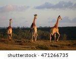 a herd of giraffe walking... | Shutterstock . vector #471266735