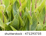 Canna Leaves Background Or...