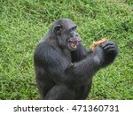 Close Up Of A Male Chimpanzee...