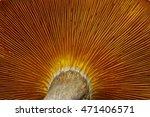 Omphalotus Olearius  Macro...