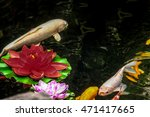 Koi Fish And Flowers In A Pond