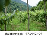 Vineyard In The Mountains Of...