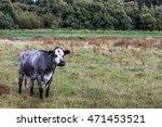 cow in field | Shutterstock . vector #471453521