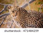 a wild leopard in the bush in... | Shutterstock . vector #471484259