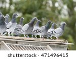 Messenger Pigeons In A Dovecote