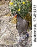 Small photo of Crested Auklet (Aethia cristatella) St. George Island, Alaska, USA