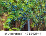 Tree Full Of Blue Plums In An...