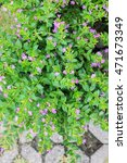 Small photo of Purple flower, false heather or Mexican heather or Hawaiian heather or elfin herb (Cuphea hyssopifolia H.B.K.), plants for ornamental garden, macro.