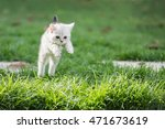 Cute American Short Hair Kitte...