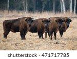 a herd of aurochs grazing on... | Shutterstock . vector #471717785