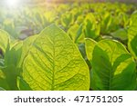 Small photo of Tobacco leaf on blurred tobacco plantation field background at sunset, close up