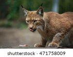 northern lynx  lynx lynx lynx . ...   Shutterstock . vector #471758009