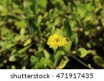 "Small photo of ""Alpine Golden Buckwheat"" flower (or Piper's Buckwheat, Yellow Umbrella Plant) in St. Gallen, Switzerland. Its Latin name is Eriogonum Flavum, native to California, Usa."