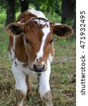 Small photo of agricultural animal calf. animal calf grazed in a meadow