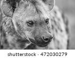 close up of a spotted hyena in... | Shutterstock . vector #472030279