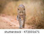 A Leopard Walking Towards The...