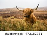 Highland Cow In Field Highland...