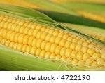 Closeup of yellow corn with additional ears of corn in the background.  Shallow dof - stock photo