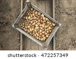 country harvest seed onions in... | Shutterstock . vector #472257349