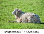 Sheep Lying On The Meadow