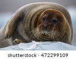 bearded seal from kings bay  ny ...   Shutterstock . vector #472299109